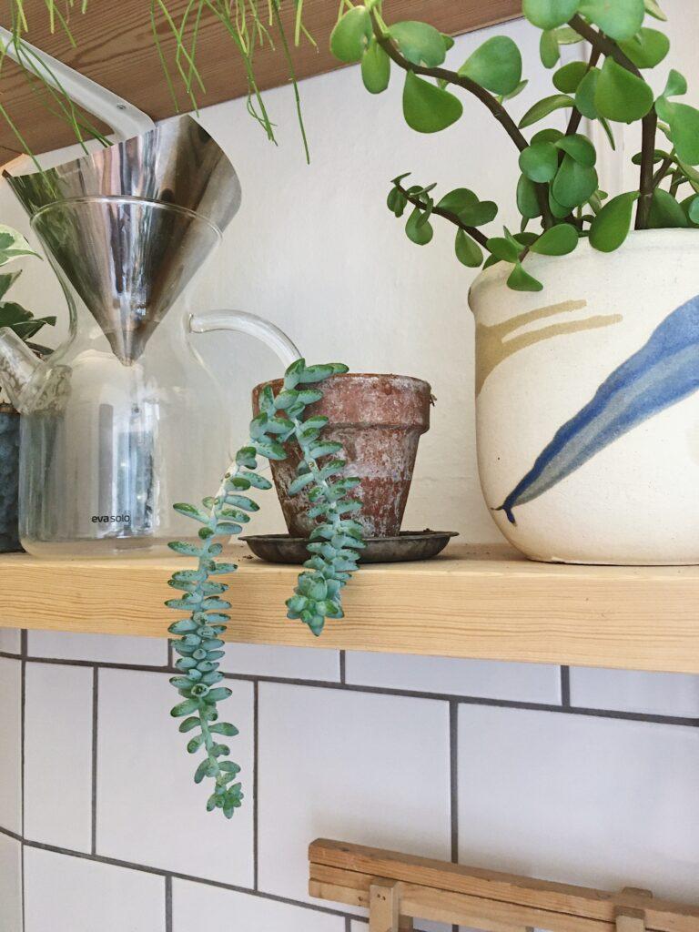 hængeplanter mexicansk stenurt