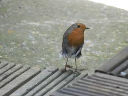 The unique trust of a robin ...