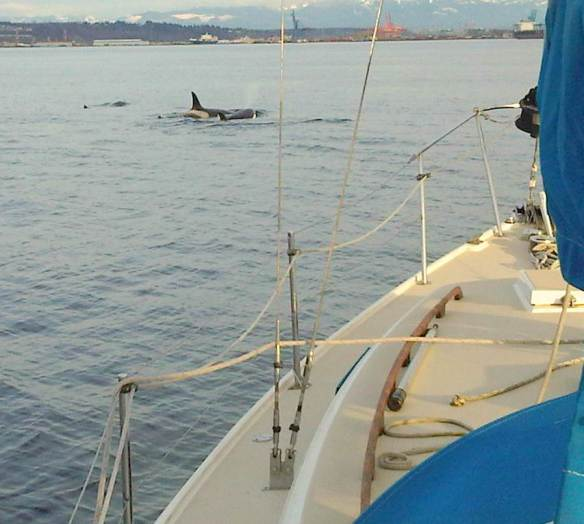 Orcas off the Port Bow