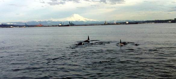 Orca Pod with the Obligatory Mount Rainier in the Background