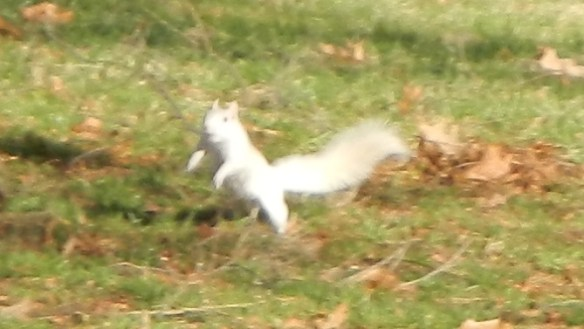 Lunging Squirrel with little sharp fangs!