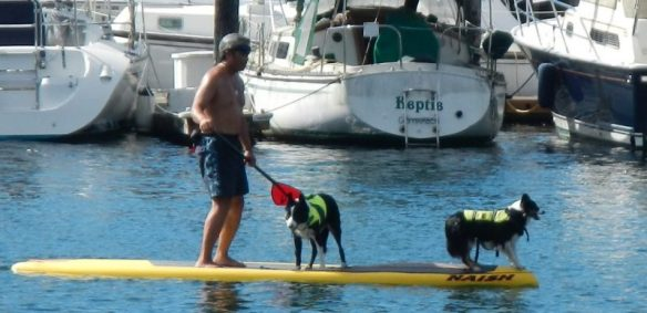 Two Border Collies on a paddle board. Just a normal day in the Pacific Northwest.