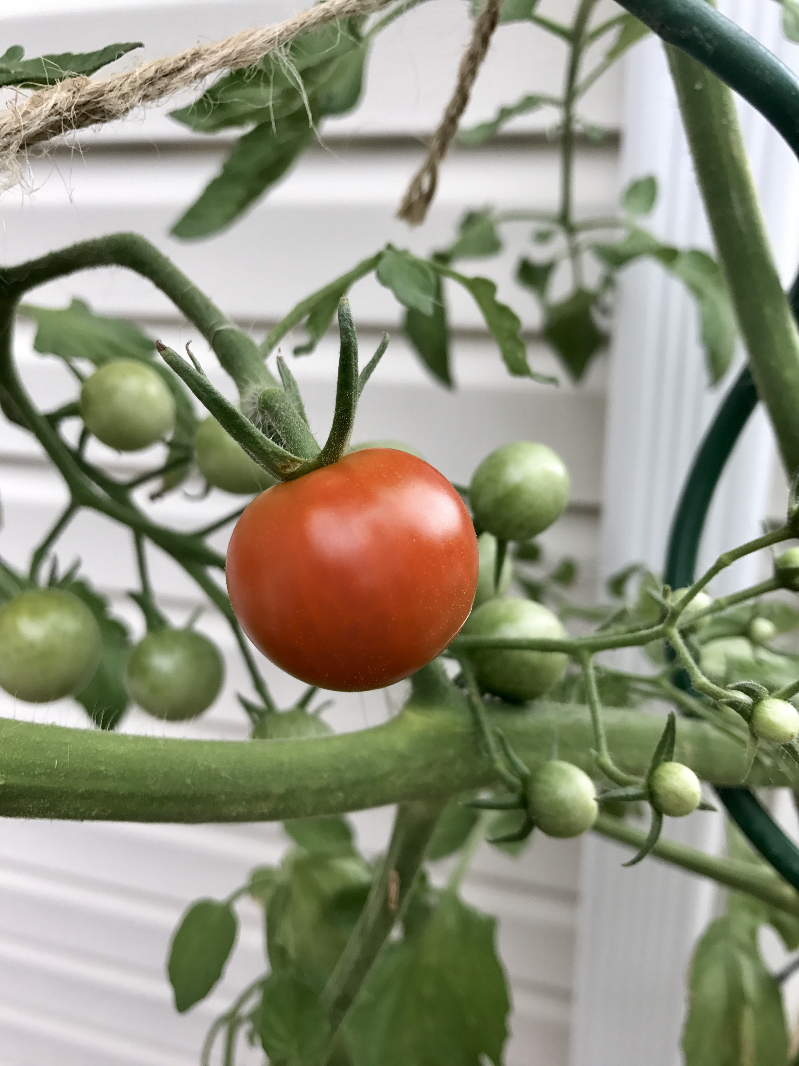 Tomatoes garden ve ables