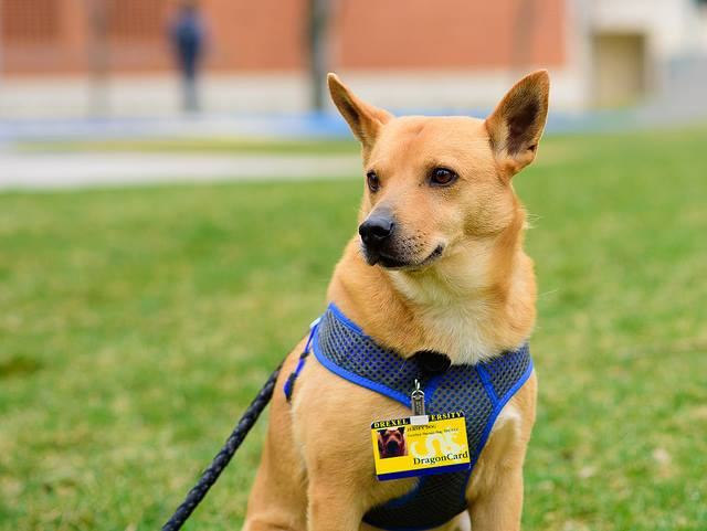 Jersey, Drexel University's on-site therapy dog, complete with his own university ID card. Photo by Hanbit Kwan