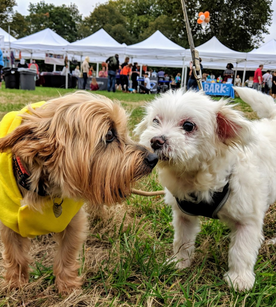 A small tan dog with long hair touches noses with a small white dog with short hair.