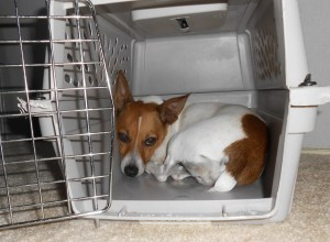 Misha hiding in her crate