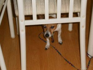 Jack Russell Terrier Hiding