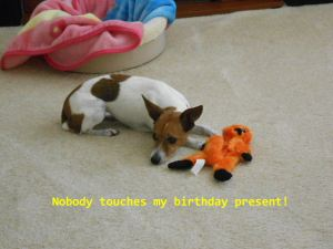 Jack Russell gets birthday present