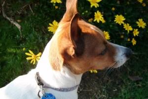 Jack Russell Terrier Dog Walk