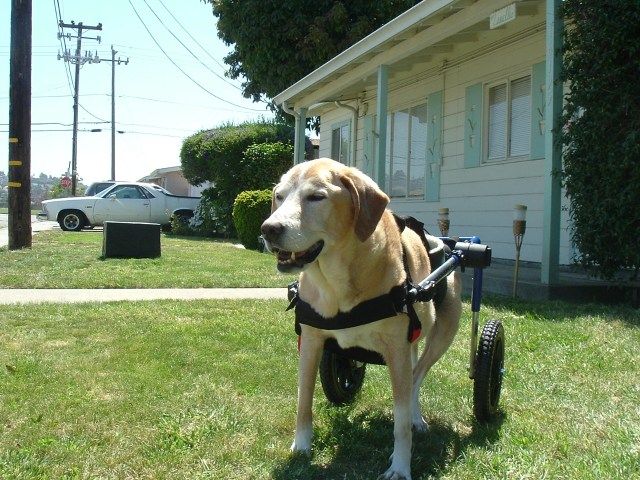 Dog in wheel chair donated by Handicapped Pets Foundation