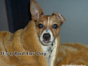 Jack Russell dog with goofy ears