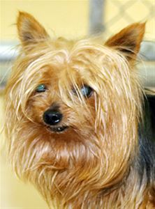The lost Yorkie, cleaned up and ready for adoption.