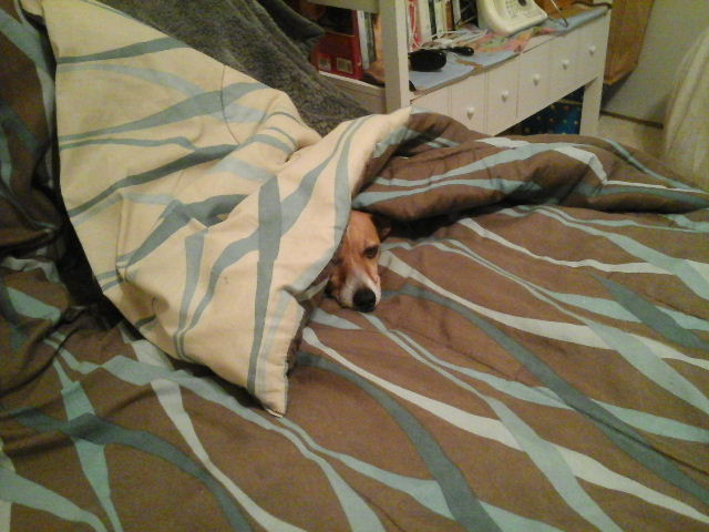 My dog likes sleeping inside the quilt