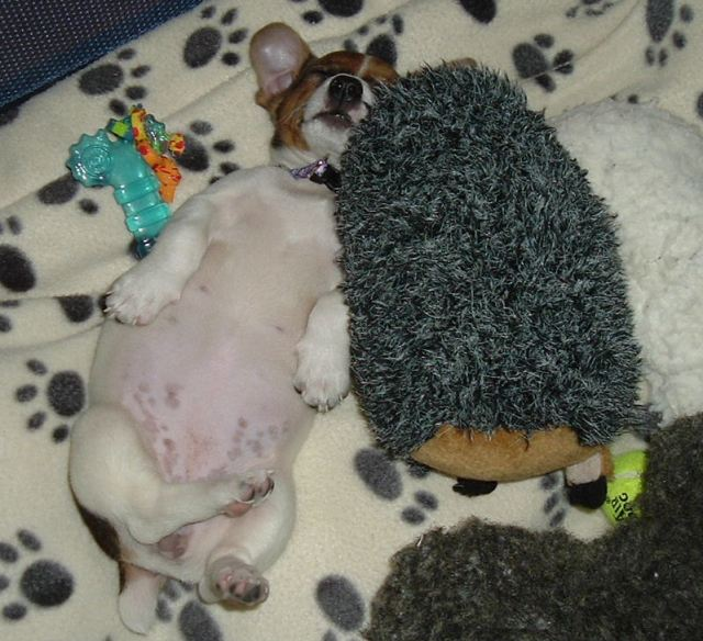 As a puppy she loved sleeping with her toys