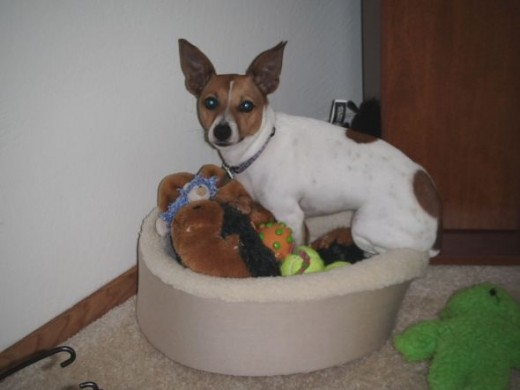 My dog sometimes sits with her toys in her bed