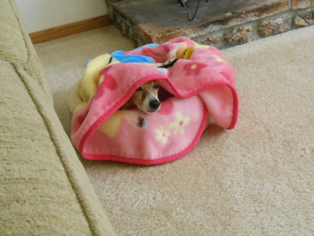 Dog peekjng out of blanket