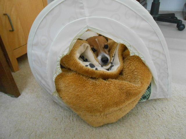 dog in tent under blankets