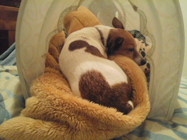 dog sleeps tent