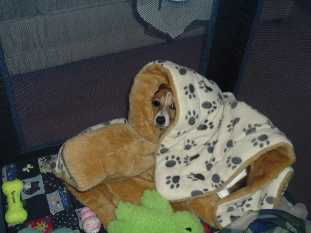 cute dog in blanket