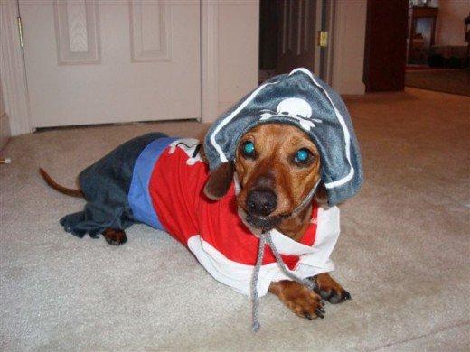 dog in cute pirate costume