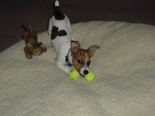 3 month old Jack Russell puppy