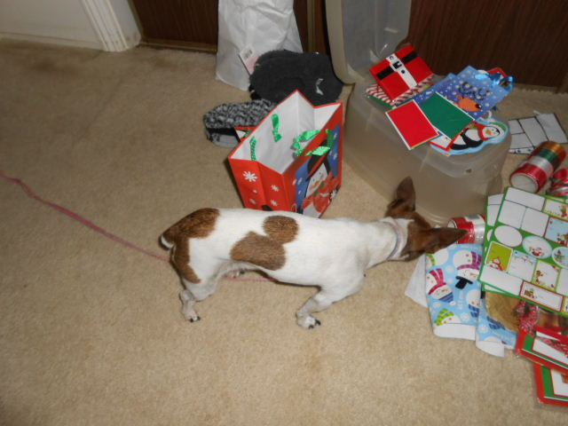 dog investigates wrapping paper