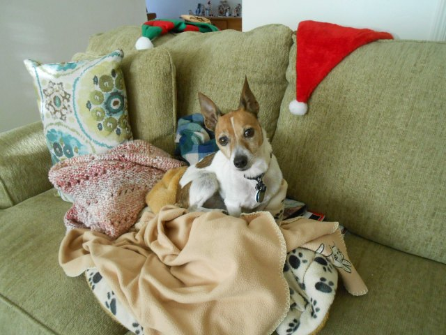 little dog climbs into blankets