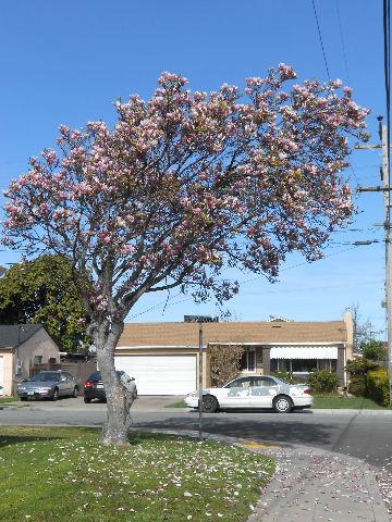 tulip tree blooming