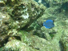 Electric blue fish swimming in the reef of Isla Manglar