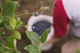 blueberry-picking-2245