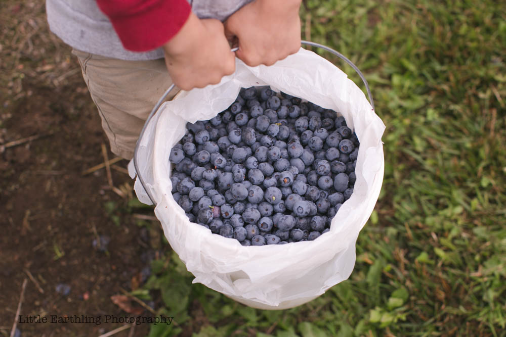 Picking Blueberries: Feeding a Large Family