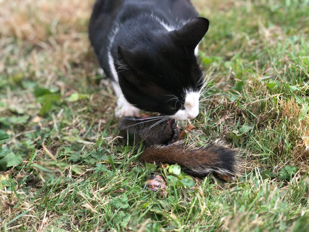 Duma the cat eats a squirrel.
