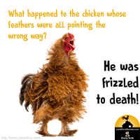 What happened to the chicken whose feathers were all pointing the wrong way? He was frizzled to death!
