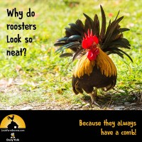 Why do roosters look so neat? Because they always have a comb!