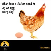 What does a chicken need to lay an egg every day? Hendurance.