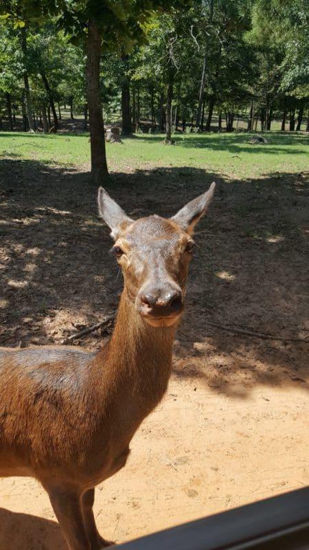 drive-thru safari texas adventure