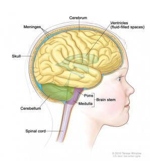 Anatomy of the brain, showing the cerebrum, cerebellum, brain stem, and other parts of the brain.
