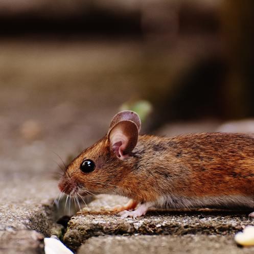 animal-apodemus-sylvaticus-brown-209079