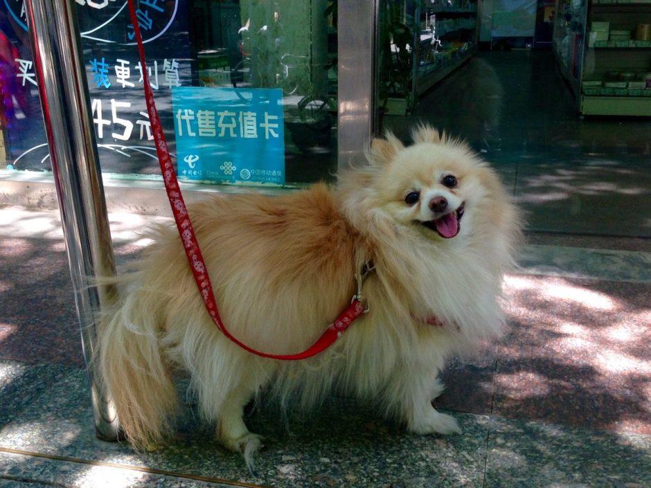 Beijing Pomeranian