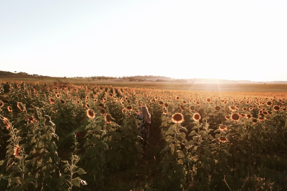 How to find the best sunflower spots in Warwick