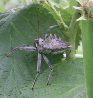 A magnificent predatory wheel bug in the raspberries