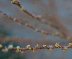 Nanking cherry buds, under the first snowflakes