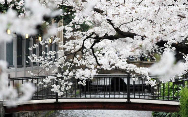 Cherry blossoms in Kyoto