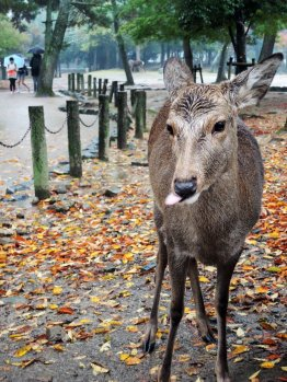 Wet deer in Nara, Japan