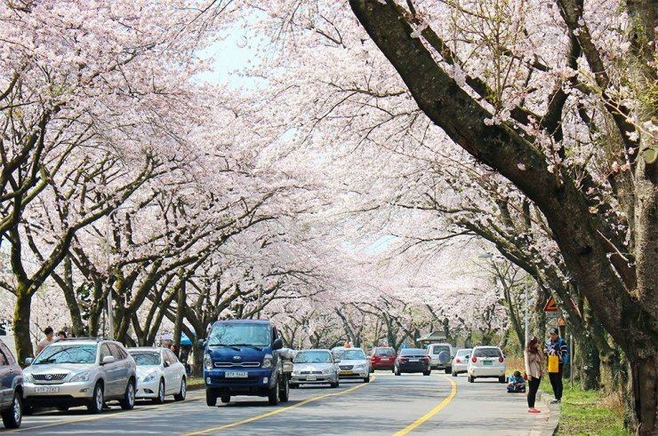 Road trips in Jeju island are the best – even more so during spring, when the cherry trees add a layer of charm and beauty to the holiday island.