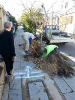 Digging up the street tree from our neighbours to move it up the street (she had to remove it to install her own driveway)
