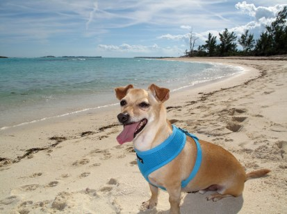 abaco, bahamas, green turtle cay, bita bay, wrigley, jack russell, travel with dog,