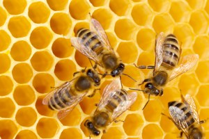 Bees working on honeycomb