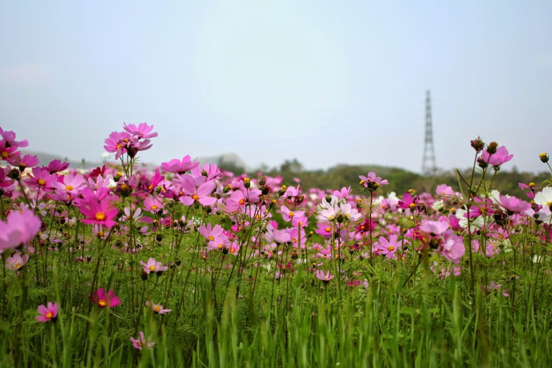 Cosmos field in Kin-Town