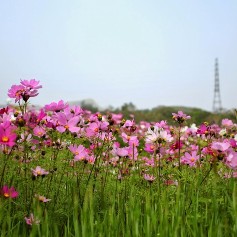 Cosmos field in Kin-Town
